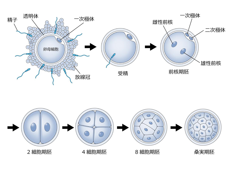 胚の培養の流れ