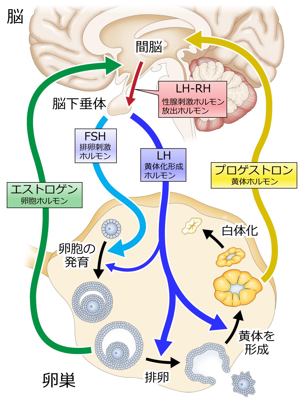 LH-RH,TRH負荷検査の図